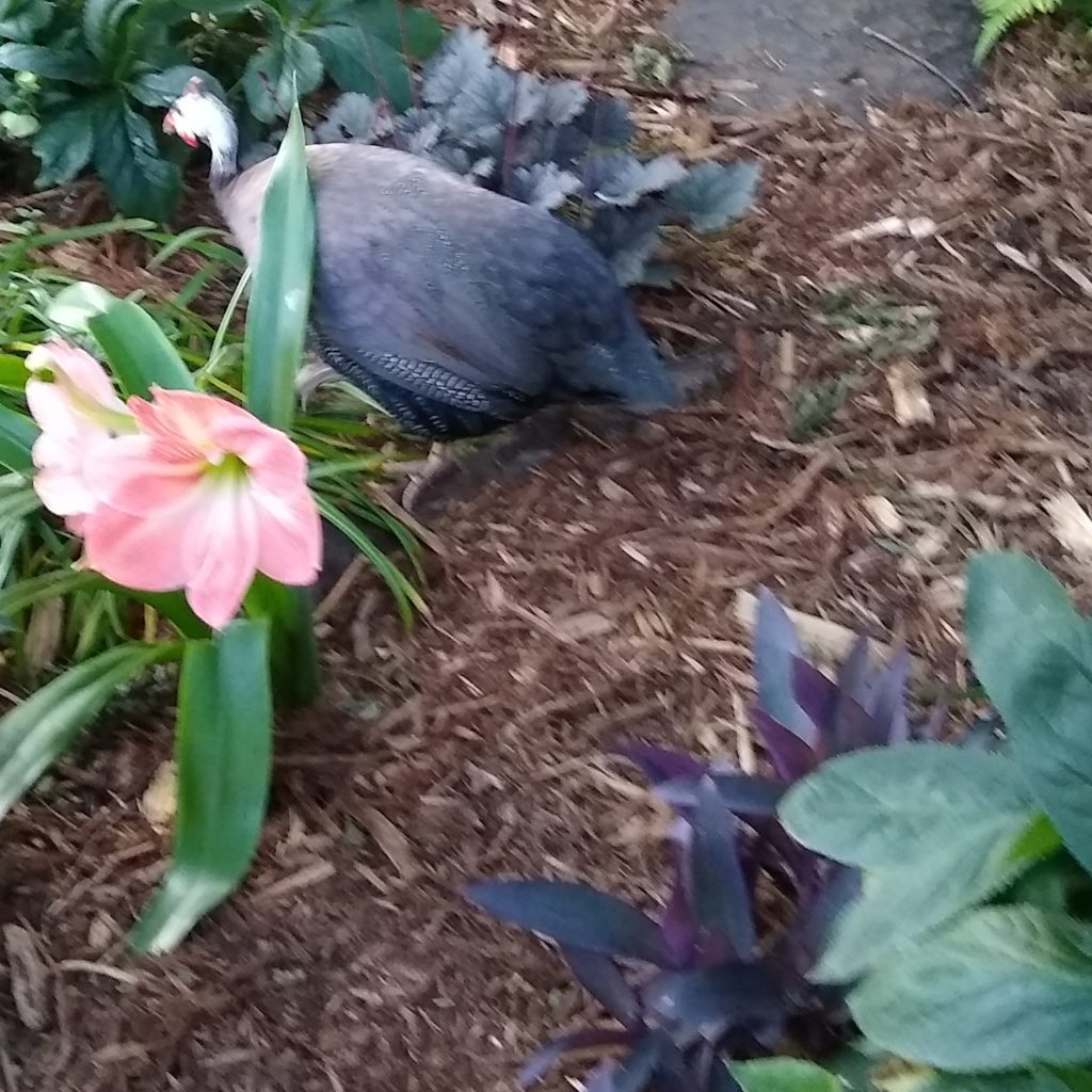 Royal purple guinea fowl runs through pink and purple plants