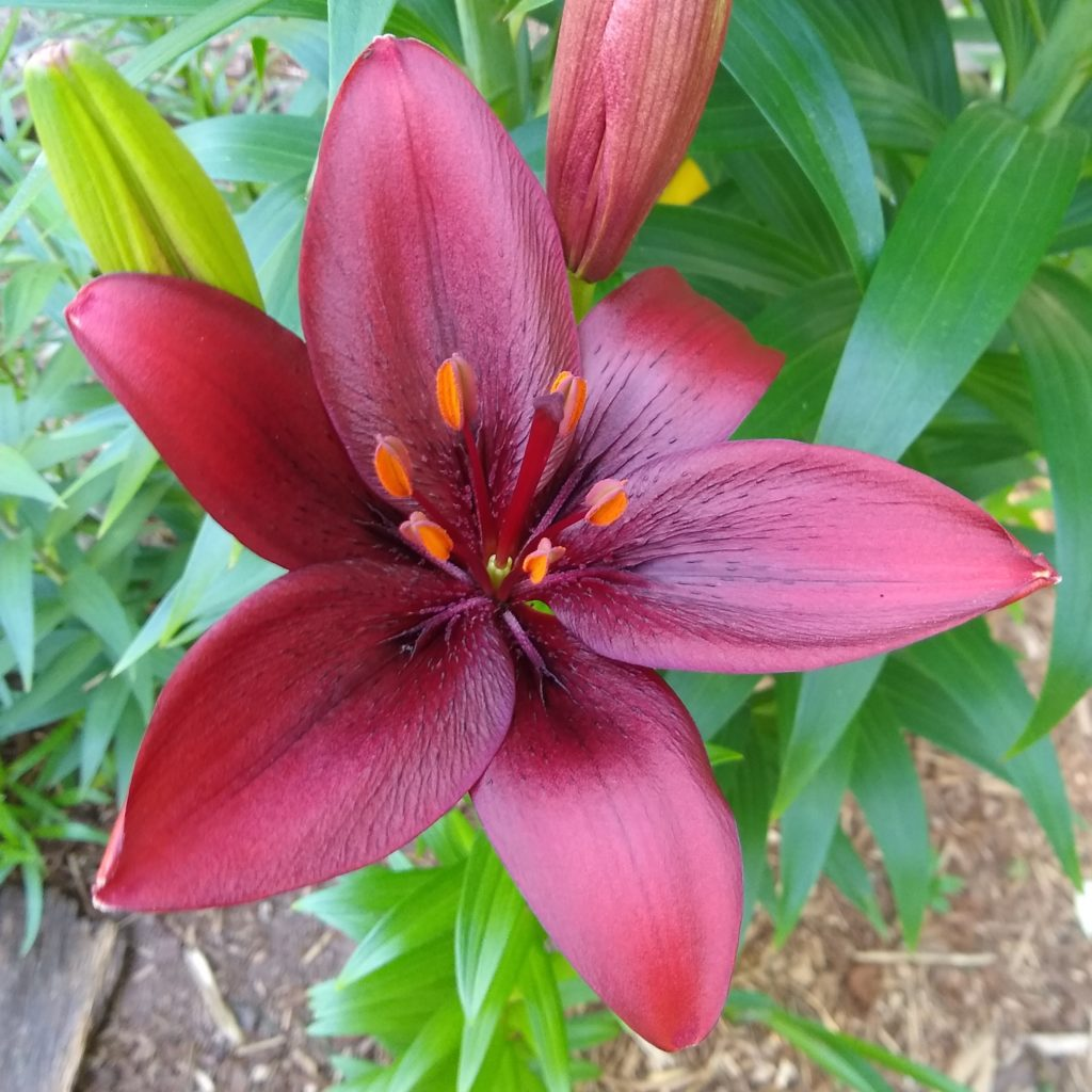 A deep burgandy colored lily flower
